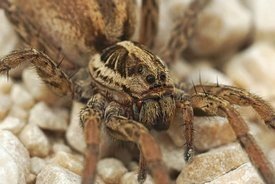 Closeup on one of Europes largest wofl spiders, Hogna radiata in Gard, France