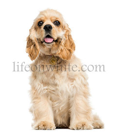 American cocker spaniel puppy sitting, panting, 5 months, isolated on white