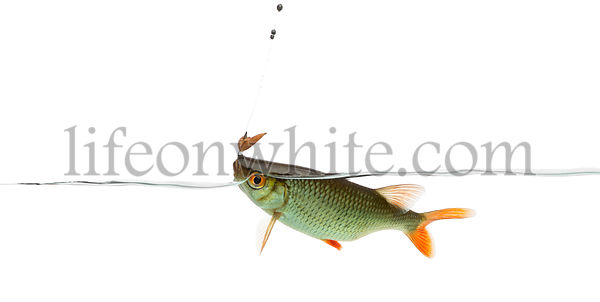 Common roach under water caught on a hook, Rutilus rutilus, isolated on white