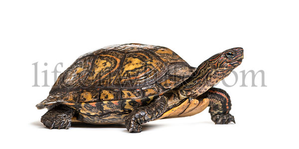 Ornate or painted wood turtle, Rhinoclemmys pulcherrima, in front of white background