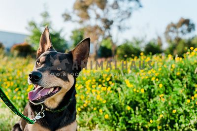A happy kelpie walking past some yellow flowers