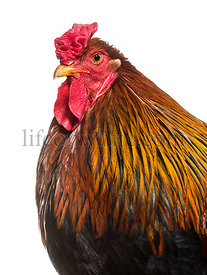 Brahma rooster against white background