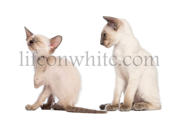 Oriental Shorthair kitten scratching while another one sitting is looking at him against white background