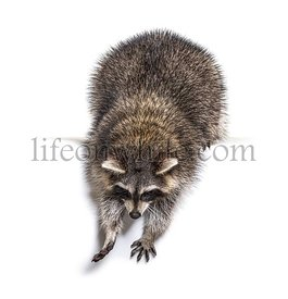Young curious raccoon looking and leaning down, isolated on white