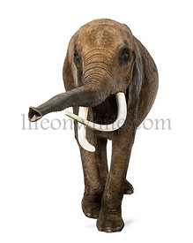 Front view of an African elephant, lifting its trunk, isolated on white