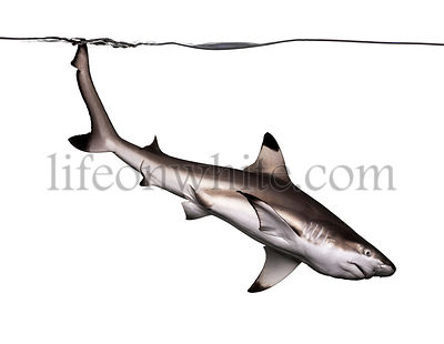 Blacktip reef shark swimming down, Carcharhinus melanopterus, isolated on white