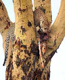 Leopard eating his prey in a tree at the Serengeti National Park, Tanzania, Africa