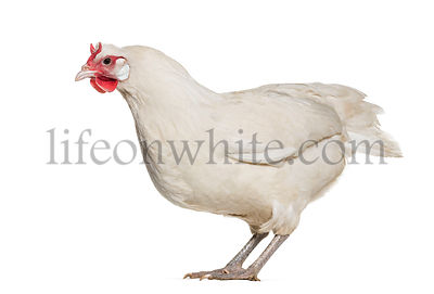 La Fleche chicken standing against white background