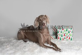 weimaraner laying on white rug next to Christmas presents