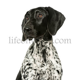 Close-up of a German Shorthaired Pointer puppy, 5 months old, isolated on white