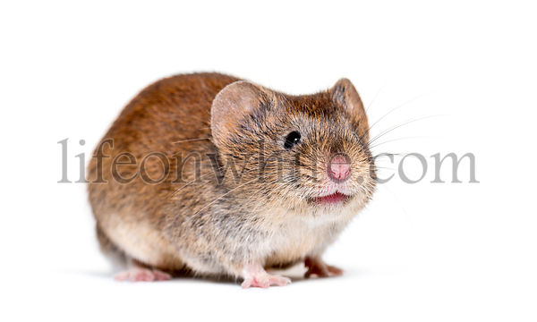 Bank vole, Myodes glareolus; formerly Clethrionomys glareolus, in front of white background
