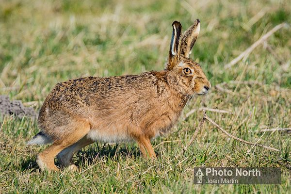 HARE 03A - Brown hare