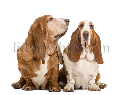 Two Basset Hounds sitting, looking at the camera and looking right, isolated on white