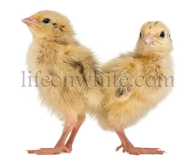 Two Japanese Quail, also known as Coturnix Quail, Coturnix japonica, 3 days old, in front of white background