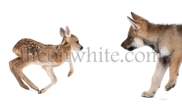Interplay between Roe deer fawn and Eurasian Wolf, studio shot