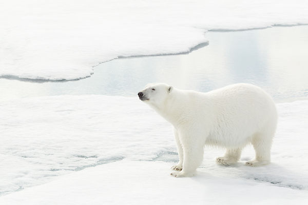 Polar Bear On A Mission VI