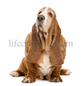 Old Basset Hound sitting and looking up, isolated on white