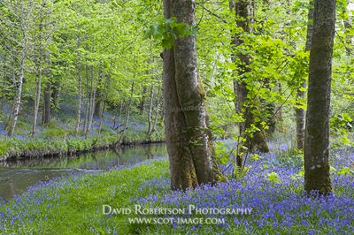 Image - Bluebells beside the River Sorn, Bridgend, Isle of Islay, Scotland