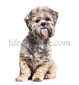 Sitting Groomed Lhasa Apso dog, isolated on white