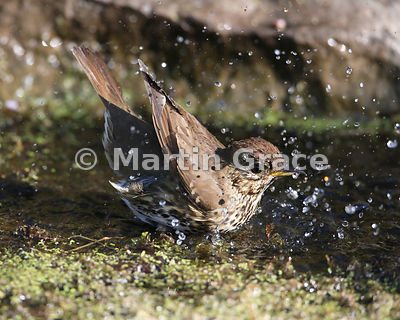 Song Thrush (Turdus philomelos) bathing vigorously in my garden pond, Lake District National Park, Cumbria, England