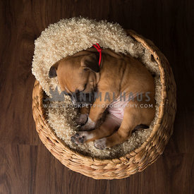 Chubby puppy curled up in a basket sleeping on wooden floor