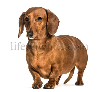 Dachshund standing against white background