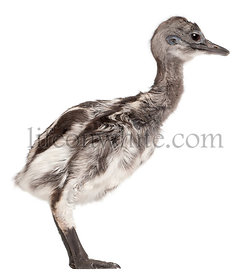 Darwin\\'s Rhea, Rhea pennata, also known as the Lesser Rhea, 1 week old, in front of white background