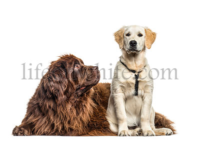 Newfoundland looking at a golden Retriever , isolated on white
