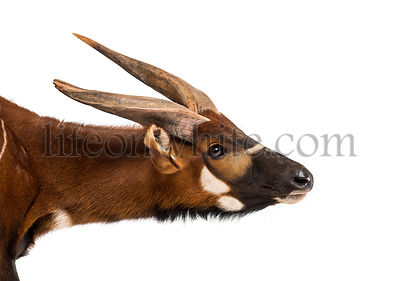 Bongo, antelope, Tragelaphus eurycerus against white background