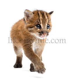 Front view of an Asian golden cat walking, Pardofelis temminckii, 4 weeks old