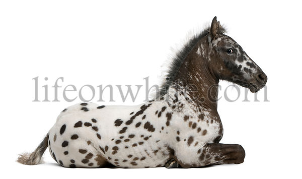 Appazon Foal, 3 months old, a crossbreed between Appaloosa and Friesian horse, lying in front of white background