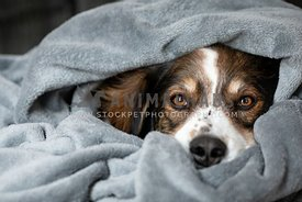 A shepherd dog wrapped in a blanket