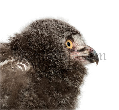 Snowy Owl chick, Bubo scandiacus, 31 days old against white background