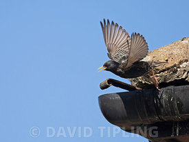 Starling Sturnus vulgarus leaving nest site in eaves of house North Norfolk UK spring