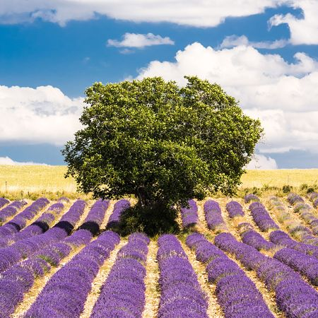 Colourful lavender in Provence,