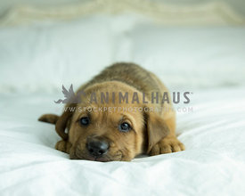 Fawn lab mix puppy lays with head down on bedding making eye contact