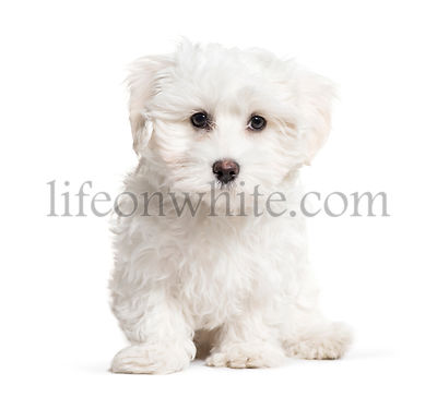 Maltese Dog, 3 months old, sitting in front of white background
