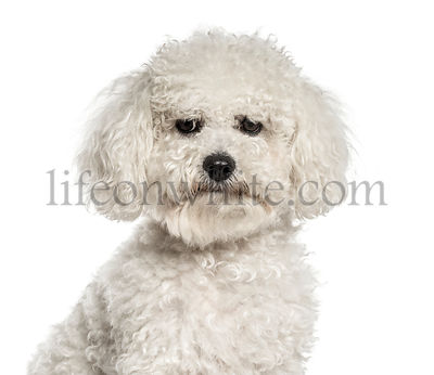 Close-up of a white bichon, isolated on white