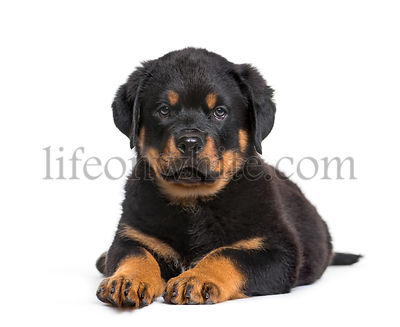 Rottweiler puppy, 10 weeks, looking at camera against white background