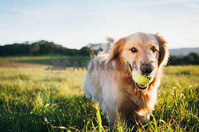 A golden retriever fetching a tennis ball in a green field