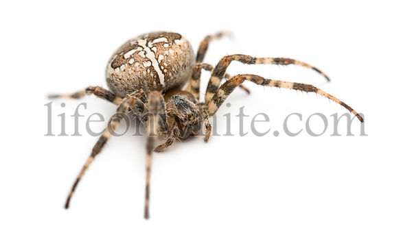 European garden spider against white background