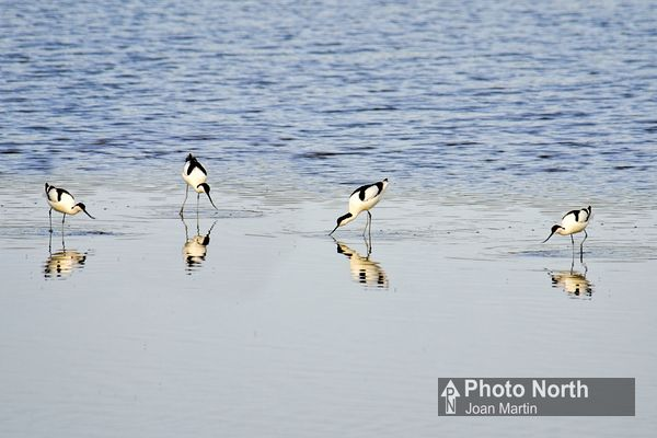 AVOCET 04A - Avocets feeding on the tideline