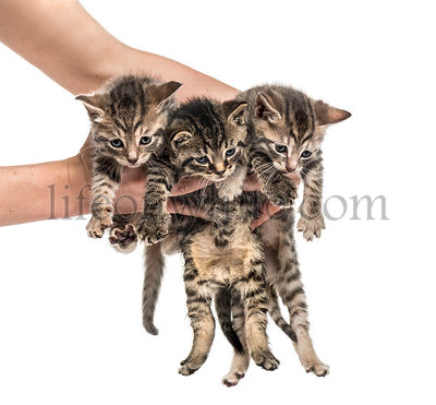 Kittens lifted by human hands, isolated on white