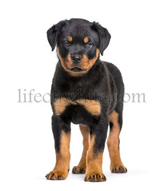 Rottweiler puppy, 10 weeks, standing against white background