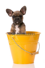 Fawn french ulldog puppy in bright yellow orange bucket on white background in studio
