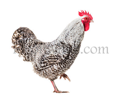 Chicken standing against white background