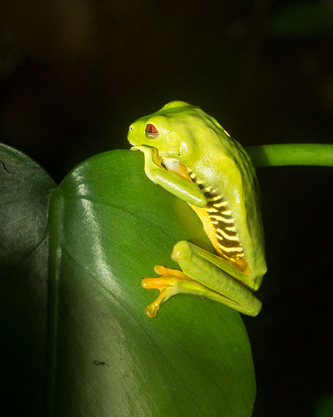 Red-eyed Tree Frog 5