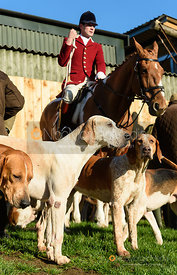 The Pytchley hounds at the meet. The Pytchley Hounds visit the Cottesmore at Town Park Farm 15/1