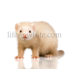 blue male Ferret kit (10 weeks)