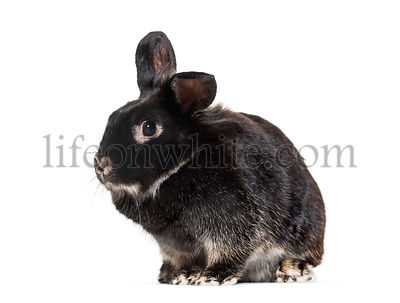Black Rabbit looking at camera in front of white background, against white background